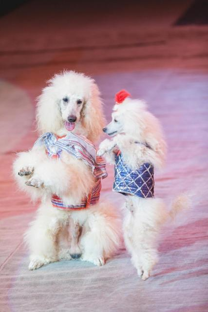 Photo of two poodles dancing in costume